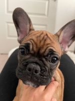 French Bulldog Puppies for sale in Denver, CO 80239, USA. price: NA