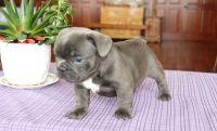 French Bulldog Puppies for sale in Atlanta, GA 30327, USA. price: NA