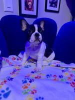 French Bulldog Puppies for sale in Pompton Lakes, NJ, USA. price: NA
