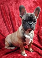 French Bulldog Puppies for sale in Poughkeepsie, NY, USA. price: NA