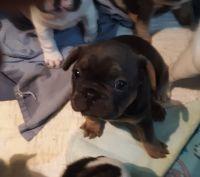 French Bulldog Puppies for sale in Twentynine Palms, CA 92277, USA. price: NA