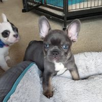 French Bulldog Puppies for sale in San Angelo, TX, USA. price: NA