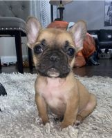 French Bulldog Puppies for sale in Lovelock, NV 89419, USA. price: NA