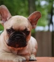 French Bulldog Puppies for sale in Florida City, FL, USA. price: NA