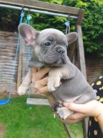 French Bulldog Puppies for sale in Texas A and M University, Dallas, TX, USA. price: NA