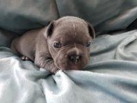 French Bulldog Puppies for sale in Phoenix, AZ 85037, USA. price: NA