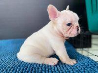 French Bulldog Puppies for sale in 5231 Ponderosa Way, Dallas, TX 75227, USA. price: NA