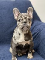 French Bulldog Puppies for sale in Williamstown, Monroe, NJ 08094, USA. price: NA