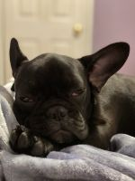 French Bulldog Puppies for sale in West Haven, CT 06516, USA. price: NA