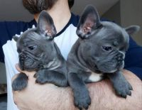 French Bulldog Puppies for sale in Chicago, IL, USA. price: NA