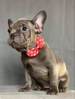 French Bulldog Puppies for sale in Daytona Beach, FL, USA. price: NA