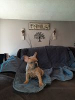 French Bulldog Puppies for sale in Richmond, IN 47374, USA. price: NA