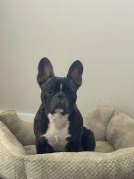 French Bulldog Puppies for sale in Miami, FL, USA. price: NA