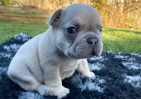 French Bulldog Puppies for sale in Vancouver, WA, USA. price: NA
