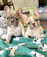 French Bulldog Puppies for sale in Tennessee City, TN 37055, USA. price: NA