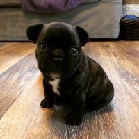 French Bulldog Puppies for sale in Geauga County, OH, USA. price: NA
