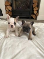 French Bulldog Puppies for sale in 7484 Holworthy Way, Sacramento, CA 95842, USA. price: NA