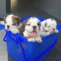 French Bulldog Puppies for sale in Boston, MA, USA. price: NA