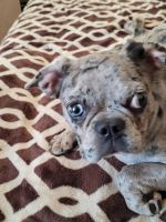 French Bulldog Puppies for sale in Fremont, CA, USA. price: NA
