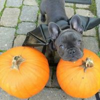French Bulldog Puppies for sale in CRYSTAL CITY, CA 90220, USA. price: NA