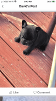French Bulldog Puppies for sale in Clayton, NC 27520, USA. price: NA