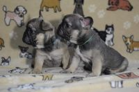 French Bulldog Puppies for sale in Marysville, CA, USA. price: NA