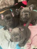 French Bulldog Puppies for sale in Allentown, PA 18102, USA. price: NA