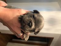 French Bulldog Puppies for sale in Carrollton, TX 75006, USA. price: NA
