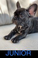 French Bulldog Puppies for sale in Lawrenceville, GA 30046, USA. price: NA