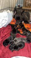 French Bulldog Puppies for sale in Arma, KS 66712, USA. price: NA