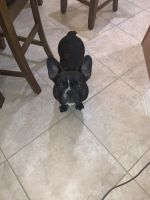 French Bulldog Puppies for sale in Fort Myers, FL 33912, USA. price: NA