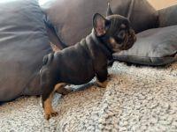 French Bulldog Puppies for sale in Washington, DC, USA. price: NA