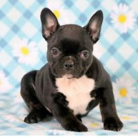 French Bulldog Puppies for sale in California City, CA, USA. price: NA
