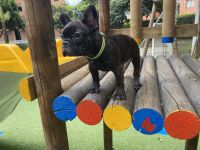 French Bulldog Puppies for sale in Winter Garden, FL 34787, USA. price: NA