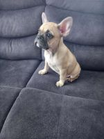 French Bulldog Puppies for sale in Barnstable County, MA, USA. price: NA