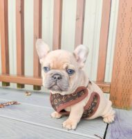 French Bulldog Puppies for sale in Bellingham, WA, USA. price: NA
