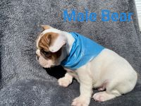 French Bulldog Puppies for sale in Ontario, CA, USA. price: NA