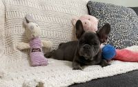 French Bulldog Puppies for sale in Charleston, SC, USA. price: NA