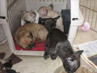 French Bulldog Puppies for sale in Cleveland, OH, USA. price: NA