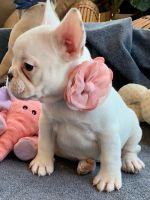 French Bulldog Puppies for sale in Charlottesville, VA, USA. price: NA