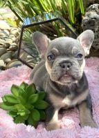 French Bulldog Puppies for sale in San Jose, CA, USA. price: NA
