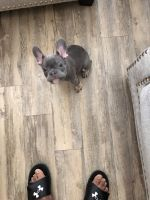 French Bulldog Puppies for sale in Houston, TX 77044, USA. price: NA