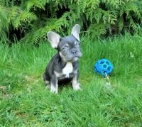 French Bulldog Puppies for sale in Bronxville, NY, USA. price: NA