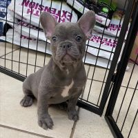 French Bulldog Puppies for sale in Denver, Irvine, CA 92604, USA. price: NA