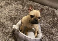 French Bulldog Puppies for sale in Jeffersonville, GA 31044, USA. price: NA