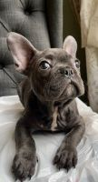 French Bulldog Puppies for sale in Irvine, CA 92618, USA. price: NA