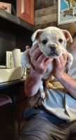 French Bulldog Puppies for sale in Shelton, CT 06484, USA. price: NA