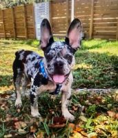 French Bulldog Puppies for sale in 2929 SW 53rd St, Fort Lauderdale, FL 33312, USA. price: NA