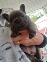 French Bulldog Puppies for sale in Blandon, PA, USA. price: NA
