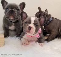 French Bulldog Puppies for sale in Saratoga Springs, NY, USA. price: NA